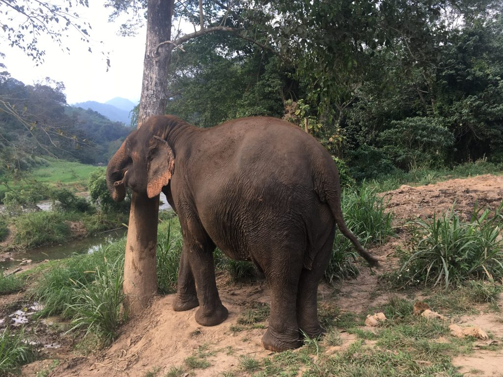 An elephant scratching its back, using a tree trunk at Chiang Mai Mountain Sanctuary in Chiang Mai, Thailand